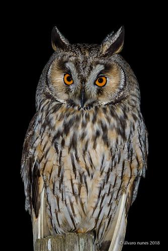 Bufo-pequeno   Long-eared owl   Asio otus
