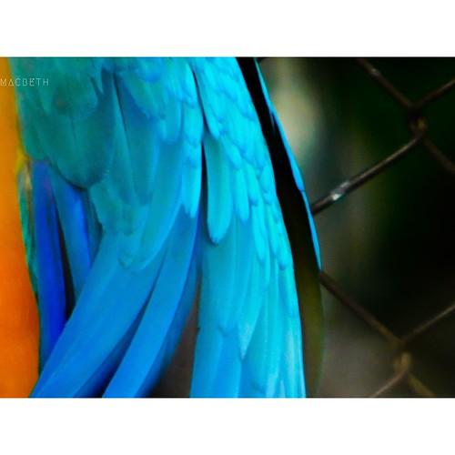 Arara-canindé (Ara ararauna) 30 • 12 • 18
