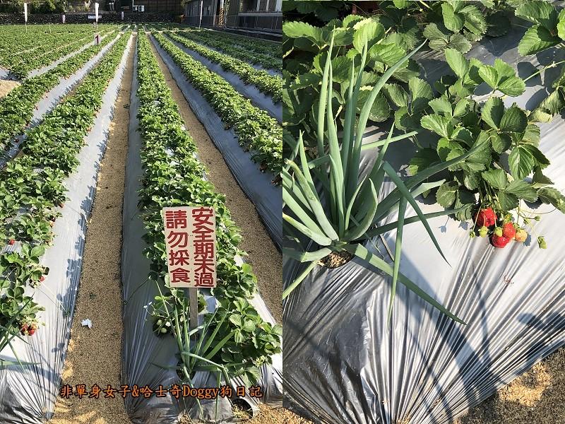 苗栗大湖草莓14