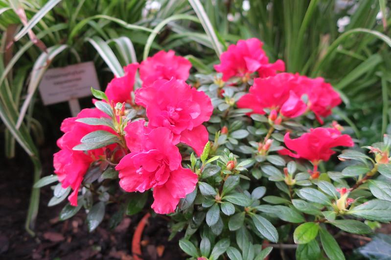 """Rhododendron simsii """"Otto"""""""