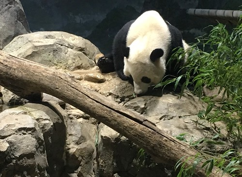 Good Morning! (Panda Bei Bei)