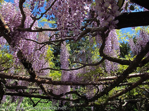 Looking up through the wisteria arbor at the Willowwood Arboretum, Morris County, New Jersey