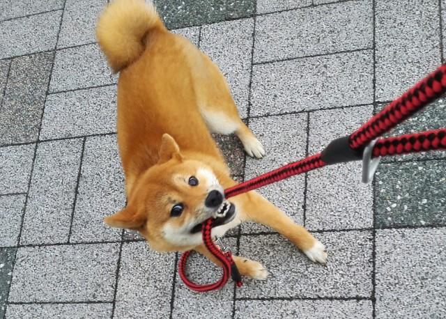 リードが嫌で散歩を嫌がる犬