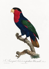 Western black-capped lory vintage poster
