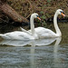 Swans on an icy canal