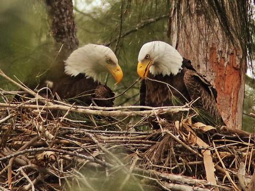 Bald Eagle 6144-20190125