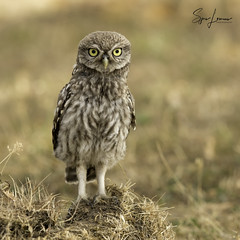 Steenuil / Little Owl - 25189