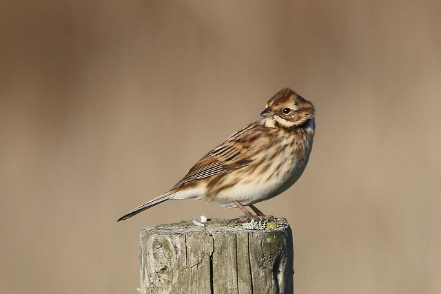 Reed Bunting-7D2_0375-001