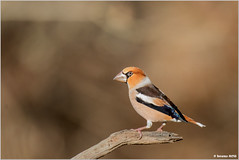 Frosone /Coccothraustes coccothraustes