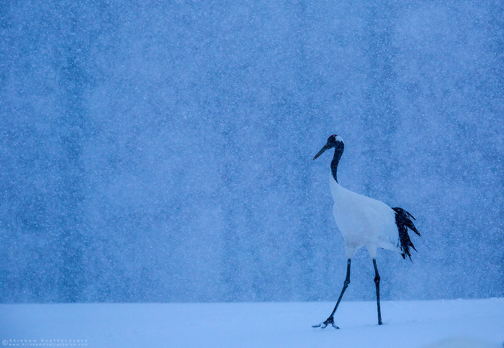 Endangered Red Crowned Crane during the snowfall in northern Japan by Arindam Bhattacharya