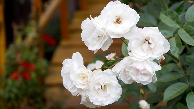 White roses, Sony SLT-A58, Sony DT 55-200mm F4-5.6 SAM (SAL55200-2)