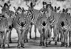 Zebra Tarangire National Park-Tanzania