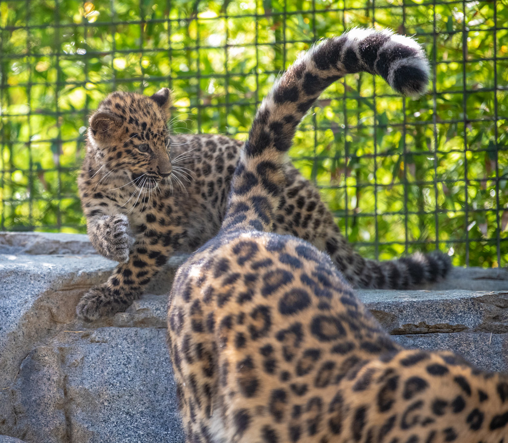 Amur Leopard_11