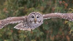 Chouette rayée - Barred Owl - Strix varia