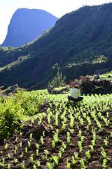 Planteur de lentilles à Roche Plate, dans le Cirque de Mafate, Reunion Island