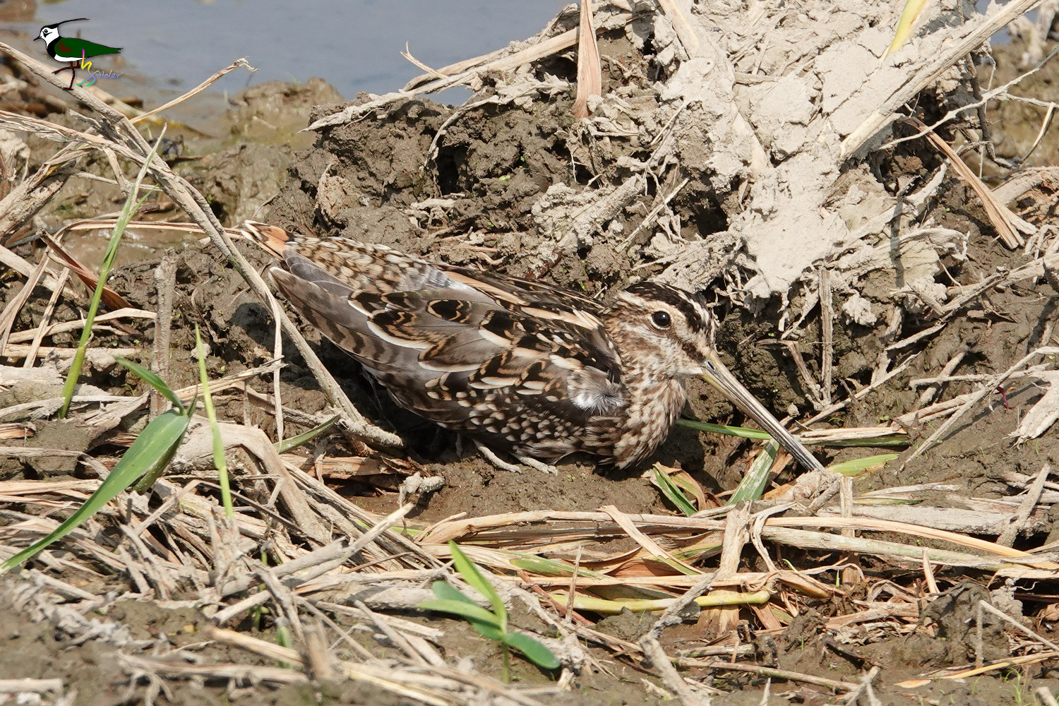 Common_Snipe_SONY_00301