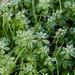 Autumn frost: stickweed
