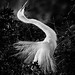 Great White Egret Displaying Plumage - 3rd Place Black and White - Frank Zurey
