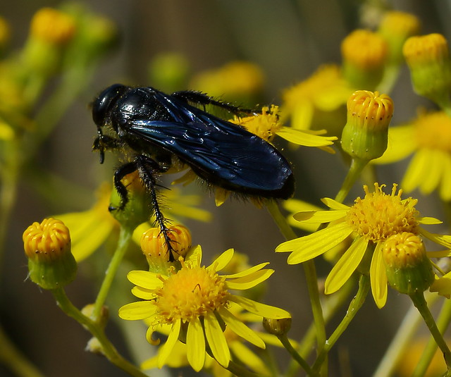 Black Digger Wasp Sphex sp.