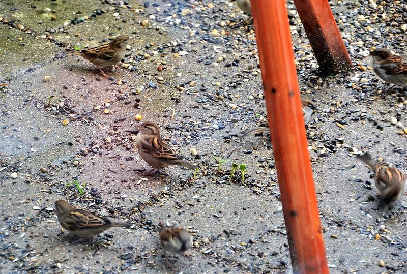 Sparrows 08.12 (15)
