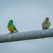 Red rump grass Parrot pair... by Beckett_1066