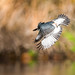 Belted Kingfisher by ericnzhou