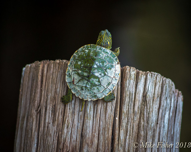 Baby Turtle, Pentax K-30, smc PENTAX-DA 55-300mm F4-5.8 ED