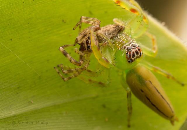 Green Jumping Spider with jumping spider prey