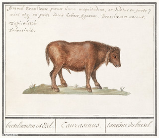 Brazilian cow in vintage style
