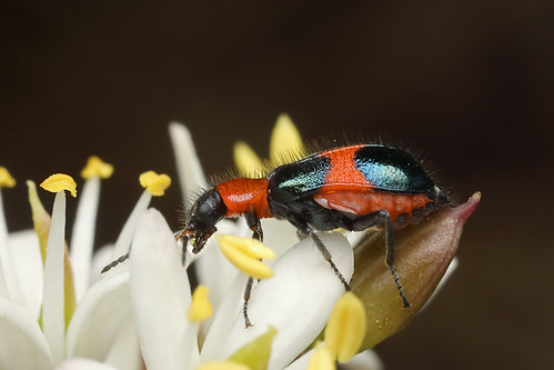 Red and Blue Beetle - Dicranolaius