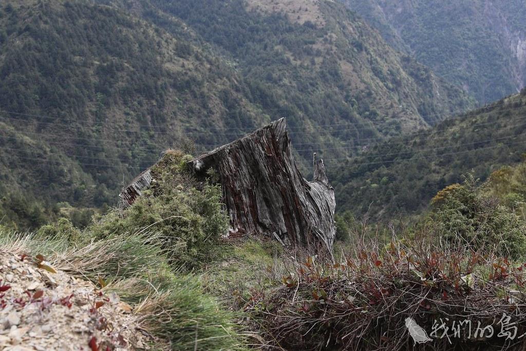 985-2-32017年丹大林區的殘存樹頭  攝/柯金源