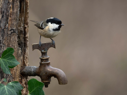 Coal Tit on a tap (Explored)