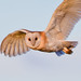 Barn Owl by Terry Angus