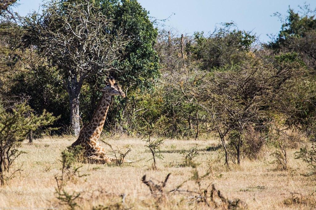 Girafe_septembrie 09_Maasai Mara_la odihna_2
