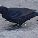 3 Blackbird