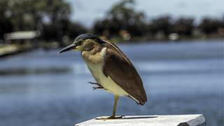Mandurah - night heron