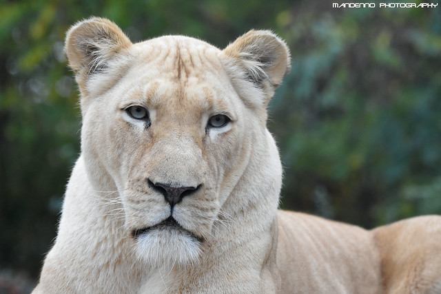 African white lioness - Zoo Amneville