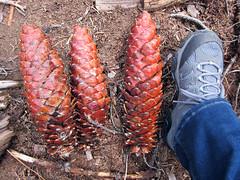 Sugar Pine cones in Sequoia National Park