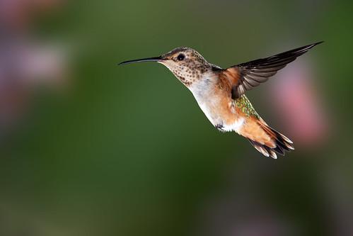 Hummingbirds Galore