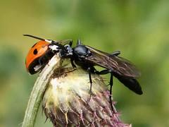 Seven spot Ladybird (Coccinella septempunctata) with Ichneumon Wasp