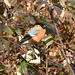 Bullfinch (m) at Chesworth Farm, Horsham