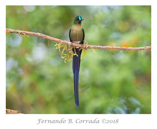 Long-tailed Sylph (0598)