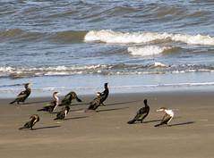 Cormorant class