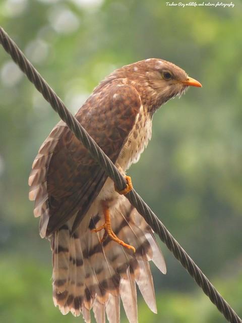 Common hawk cuckoo ( Juvenile), Canon POWERSHOT SX540 HS