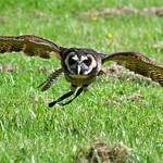 Short eared owl ?