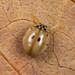 Ten-spot Ladybird (Adalia decempunctata).