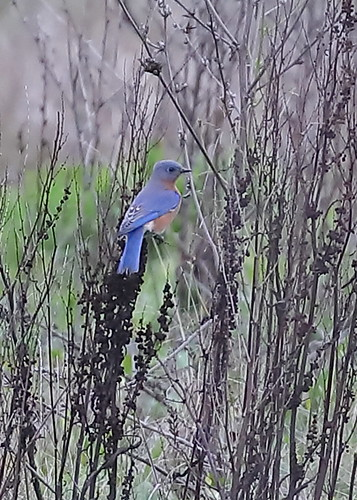 Eastern Bluebird, Multnomah Co., OR_5495(2)