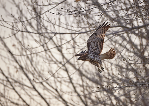 Hawk take off | by Aaron_Smith_Wolfe_Photography
