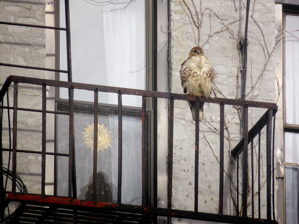 Red-tailed hawk on fire escape