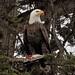 02 Bald Eagle by dave morro bay